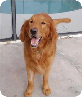 Golden Retriever Dog for adoption in Murdock, Florida - Bear Bear
