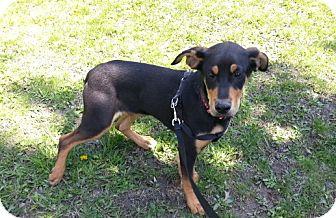 Hound (Unknown Type) Mix Puppy for adoption in Bardonia, New York - Rex
