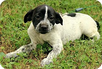 English Setter/English Setter Mix Puppy for adoption in Plainfield, Connecticut - Allyson