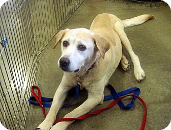 Labrador Retriever Mix Dog for adoption in Overland Park, Kansas - Sophie