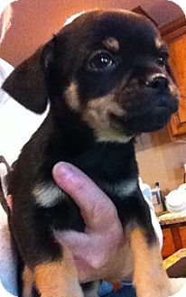 Chihuahua/Pug Mix Puppy for adoption in Cave Creek, Arizona - Martina
