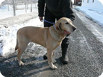 Labrador Retriever Dog for adoption in Liberty Center, Ohio - Myrtle