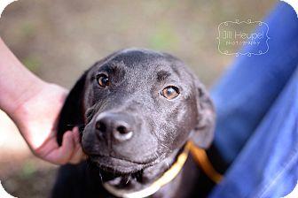 Labrador Retriever Dog for adoption in Edwardsville, Illinois - Pana