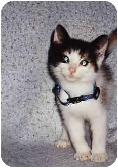 Domestic Mediumhair Kitten for adoption in Owatonna, Minnesota - Streak
