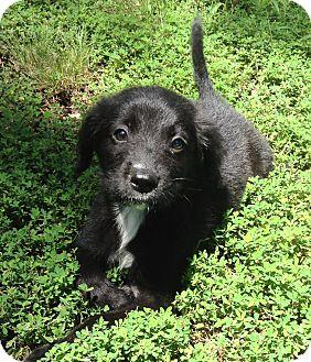 Labrador Retriever/Catahoula Leopard Dog Mix Puppy for adoption in Mayflower, Arkansas - Flynn