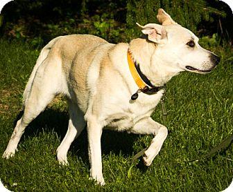 Labrador Retriever Mix Dog for adoption in Mt. Prospect, Illinois - Roxy