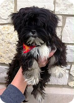 Shih Tzu/Poodle (Miniature) Mix Puppy for adoption in Oswego, Illinois - I'M ADOPTED Boo Ross