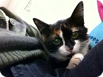 American Shorthair Kitten for adoption in Beverly, Massachusetts - BEAUTY