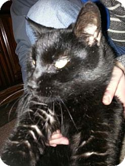 Domestic Shorthair Cat for adoption in Brooklyn, New York - Marshmellow