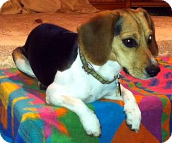 Beagle Dog for adoption in Houston, Texas - Lacey