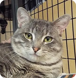 Domestic Shorthair Cat for adoption in Grants Pass, Oregon - Tigger