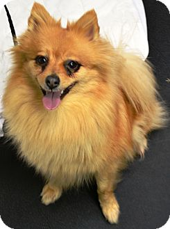 Pomeranian Mix Dog for adoption in Fruit Heights, Utah - Pixie