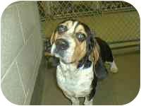Beagle/Basset Hound Mix Dog for adoption in Ventnor City, New Jersey - ERNIE