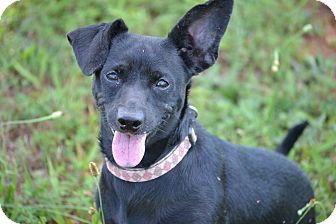 Chihuahua/Dachshund Mix Dog for adoption in Pikeville, Maryland - Soda Pop