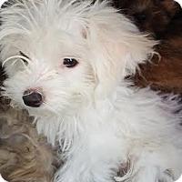 Adopt A Pet :: Koda - Algonquin, IL