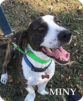 Basset Hound/Beagle Mix Dog for adoption in Batesville, Arkansas - Miny