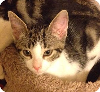 Domestic Shorthair Kitten for adoption in Gainesville, Florida - Thor