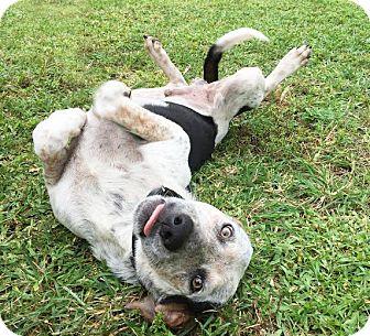 Blue Heeler Mix Puppy for adoption in Boca Raton, Florida - DJ