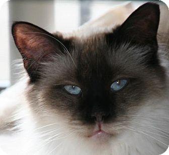 Siamese Cat for adoption in Colorado Springs, Colorado - Sonya