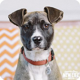 German Shepherd Dog/Pit Bull Terrier Mix Puppy for adoption in Portland, Oregon - Ingrid