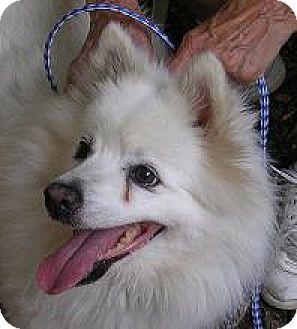 Spitz (Unknown Type, Medium) Dog for adoption in Island Heights, New Jersey - SnowBall