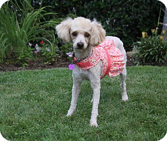 Poodle (Miniature) Mix Dog for adoption in Newport Beach, California - ISADORA
