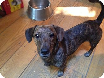 Dachshund Mix Dog for adoption in Stamford, Connecticut - Doodles
