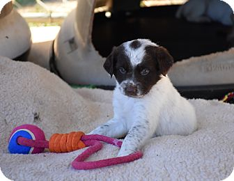 Spaniel (Unknown Type) Mix Puppy for adoption in Groton, Massachusetts - Chica