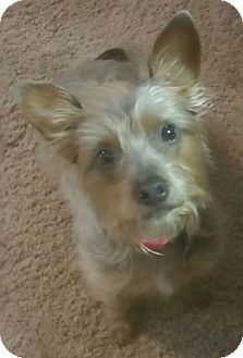 Yorkie, Yorkshire Terrier/Terrier (Unknown Type, Small) Mix Dog for adoption in Olive Branch, Mississippi - Callie