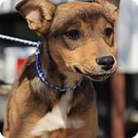 Shepherd (Unknown Type) Mix Dog for adoption in Von Ormy, Texas - Miranda
