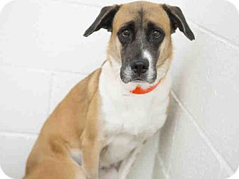 Boxer/Labrador Retriever Mix Dog for adoption in Litchfield Park, Arizona - ON EUTHANASIA LIST!Only $25!!!