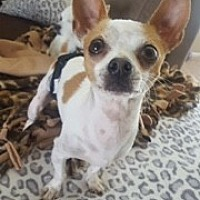 Chihuahua Dog for adoption in Rancho Cucamonga, California - KEKOA