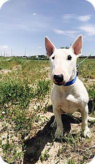 Bull Terrier Dog for adoption in Denver, Colorado - Easton  aka: EZ
