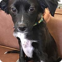 Adopt A Pet :: Jackie O - Las Vegas, NV