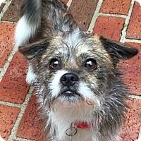 Adopt A Pet :: Braxton - Atlanta, GA