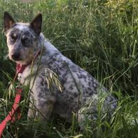 Adopt A Pet :: Freida - Paso Robles, CA