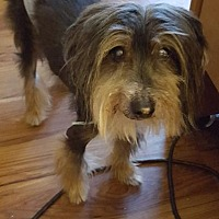 Adopt A Pet :: Otto (Northern MD) - Gilford, NH