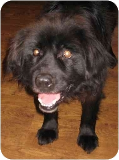 Newfoundland Mix Dog for adoption in Northville, Michigan - Lady ~ Pending