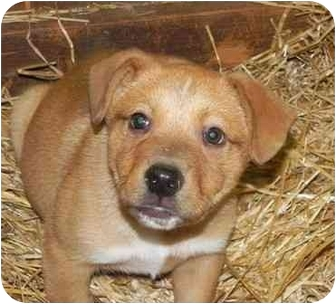 Labrador Retriever Mix Puppy for adoption in Salem, New Hampshire - Grits