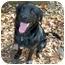 Photo 4 - Flat-Coated Retriever/Labrador Retriever Mix Dog for adoption in Powell, Ohio - Sampson