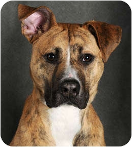 Boxer/Greyhound Mix Dog for adoption in Chicago, Illinois - Sandy