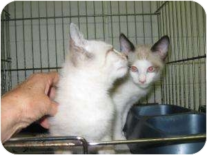 Siamese Kitten for adoption in Henderson, North Carolina - More new kittens