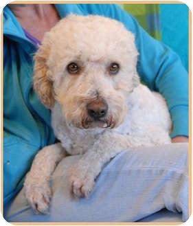 Labradoodle Mix Dog for adoption in Las Vegas, Nevada - Bracken