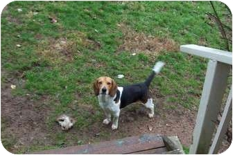Beagle Dog for adoption in Hohenwald, Tennessee - Scooby