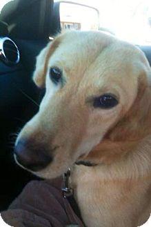 Labrador Retriever Mix Dog for adoption in Spring Valley, New York - Allie