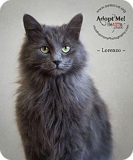 Domestic Longhair Cat for adoption in Phoenix, Arizona - Lorenzo