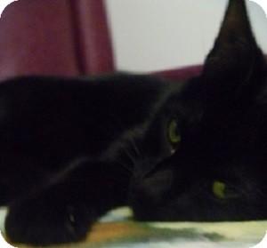 Domestic Shorthair Cat for adoption in Hamburg, New York - Sky