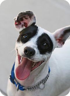 Rat Terrier Mix Puppy for adoption in Coronado, California - Wally