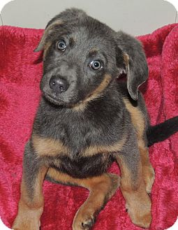German Shepherd Dog/Weimaraner Mix Puppy for adoption in La Habra Heights, California - Maddie