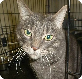 Domestic Shorthair Cat for adoption in Pueblo West, Colorado - Tinker